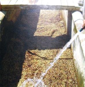 Procedimento de secagem do café