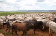 Começa hoje a segunda etapa anual da vacinação de bovinos e bubalinos contra febre aftosa