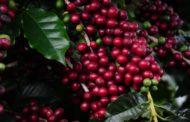 Programa possibilita que famílias em situação de vulnerabilidade social invistam na cafeicultura
