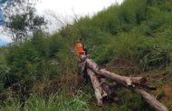 Homem morre atingido por eucalipto durante corte